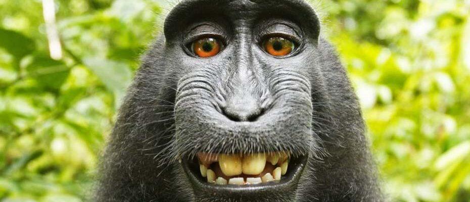 Die Urheberrechte dieses Selfies liegen nicht bei Makake Naruto.|© picture alliance / Photoshot